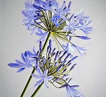 AGAPANTHUS by Andy and Von Quinn