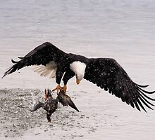 Bald Eagle Captures Duck by David Friederich