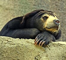"""The Malayan Sun Bear..."" by Rosehaven"