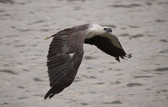 White Bellied Sea Eagle by Steve Bullock