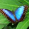 BLUE BUTTERFLIES (OPEN WINGS)