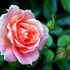 Pink Rose by Jane-in-Colour