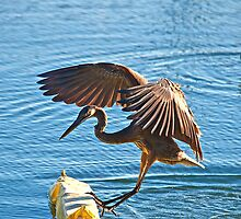 Great Blue Heron Approaches Float by imagetj