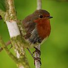 Little Robin by Alexa Pereira