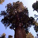 General Sherman sequoia by Nancy Richard