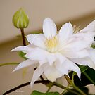 Pure White Clematis by GardenJoy