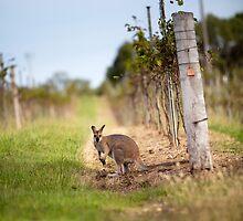Kangaroo in the vineyard by Martin Canning
