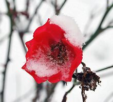 Red rose in the snow by dizzyshell42
