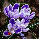 Beautiful Crocus by Trevor Kersley
