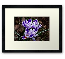 Beautiful Crocus Framed Print