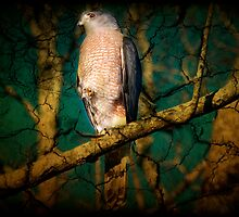 Coopers Hawk - (2) by imagetj