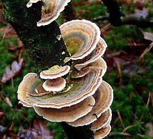 Elfen bankjes - Bracket fungi by Hans Bax