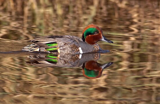Green Winged Teal Reflections by Michael Mill