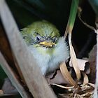 The final in the series, silvereye chicks by Adrian Kent