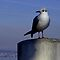 Meditating Seagull by Charmiene Maxwell-batten