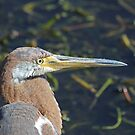 Immature tricolored heron by jozi1