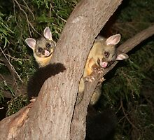 Hello Possums - Brushtail Mother and Baby by TimLloyd