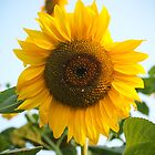 sunflower by sarpat