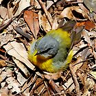 Eastern Yellow Robin - Sunbake on the Forests Floor by Normf