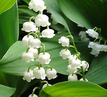 Lily of the Valley by karenfou
