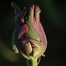 Purple Parrot Tulip by Lindie