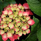 Budding Hydrangea by Noel Elliot