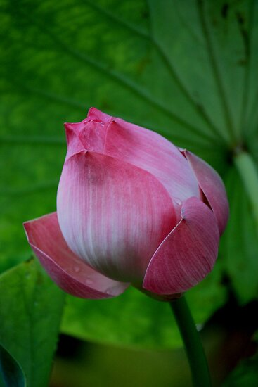 The Lotus Bud by Indrani Ghose