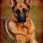 German Shepherd Dog Portrait by AngieM