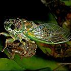 cicada newborn by Helenvandy