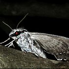 privet hawk Moth by Helenvandy