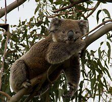 Hangin' with the Koala's - Great Ocean Walk, Cape Otway by Ben |  Greg