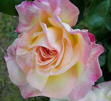 Blush on a Rose, my garden,Tumut, NSW, Australia. by kaysharp