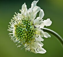 Pincushion Flower Macro, Scabiosa Caucasia by Andrew Jones