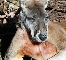 Kangaroos by Joanne Emery