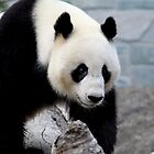 Pandamonium by Caroline Hannessen