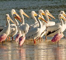 White Pelicans by noffi