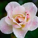 Peach Rose by Penny Smith