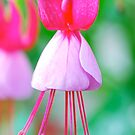 Pretty Pink Fuschia by Penny Smith