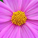 Purple Cosmos by Penny Smith