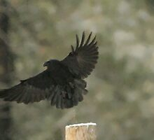 Common Raven by OneRudeDawg