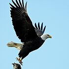 Bald Eagle at Delta Ponds by Chuck Gardner
