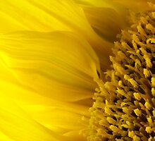 Sunflower in bloom  by PenelopeLawry