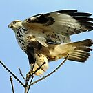 Rough-Legged Hawk Ready to Takeoff   by Chuck Gardner