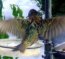 Starling In Flight by Chris Goodwin
