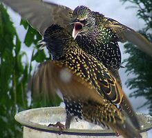 Starling Fighting For Food by dawnandchris