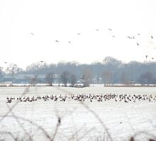 Hundreds and hundreds of geese by steppeland