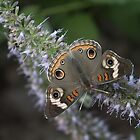 Common Buckeye Butterfly by yakkphat