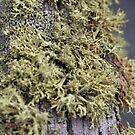 Lichen Texture by yakkphat