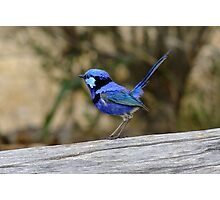 Blue Wren take 2 Photographic Print