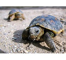 Desert Tortoises ~ Hatchlings (4-5 weeks) Photographic Print